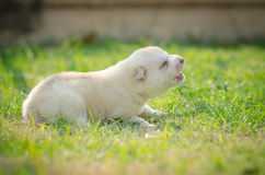 Howling Puppy siberian husky Royalty Free Stock Images