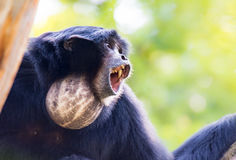 Howling siamang gibbon Stock Images