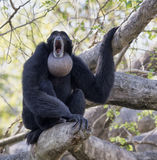 Howling Siamang in Tree Royalty Free Stock Photo