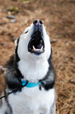 Howling Siberian Husky Dog Stock Photos