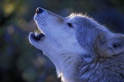 Howling Timberwolf Royalty Free Stock Images