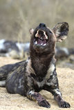 Howling wild dog Royalty Free Stock Image