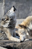 Howling wolf. In a Moscow Zoo Royalty Free Stock Images