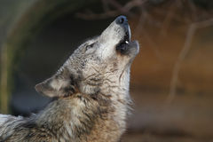 Howling wolf Royalty Free Stock Image