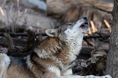 Howling european wolf stock photo