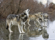 Howling Wolf with Pack. Grey wolf howling to rally the pack Royalty Free Stock Photography