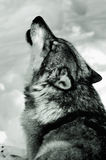 Howling Wolf in snow. Black and white portrait of howling Gray Wolf in snow Stock Photo