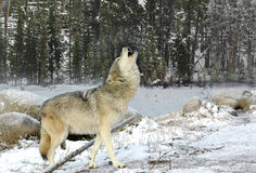 Howling Wolf in the Snow Royalty Free Stock Photography