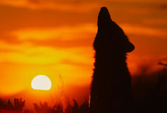 Howling Wolf in Sunrise Stock Photography
