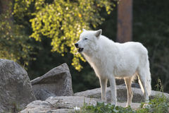 Howling wolf Stock Photos