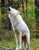 Howling Wolf. Wild wolf howling in the woods royalty free stock images