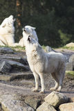 Howling wolfpack Stock Photos