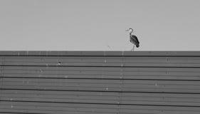Howth, contea Fingal, Irlanda Grey Heron a Howth Immagini Stock Libere da Diritti