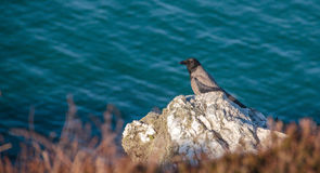 Howth, County Fingal, Ireland - Crow on a rock Stock Photography