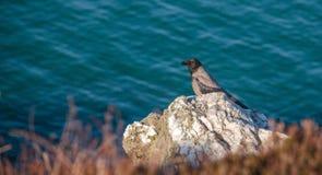 Howth, Grafschaft Fingal, Irland - krähen Sie auf einem Felsen Stockfotografie