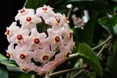 Hoya стоковые изображения