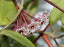 Hoya λουλούδια Στοκ φωτογραφία με δικαίωμα ελεύθερης χρήσης