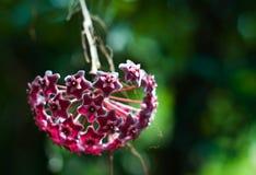 Hoya bloem Royalty-vrije Stock Foto's