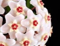 Hoya blommar makro royaltyfria bilder