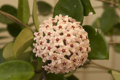 Hoya Bloom. Hoya plant in full bloom with petals that resemble a star fish. Very delicate bloom Stock Photo