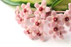 Hoya-Blumen Stockfotografie