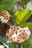 Hoya-Blumenblüte Lizenzfreie Stockfotos