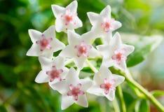 Hoya-Blumennahaufnahme Stockfoto