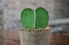 Hoya cactus heart. Broken heart shaped of small hoya cactus in sackcloth flower pot on brown wooden table stock photography