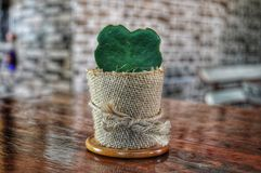 Hoya cactushart stock foto's