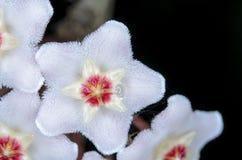 Hoya carnosa Στοκ εικόνα με δικαίωμα ελεύθερης χρήσης
