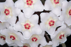 Hoya carnosa Στοκ εικόνες με δικαίωμα ελεύθερης χρήσης