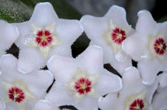 Hoya carnosa Royalty Free Stock Photography