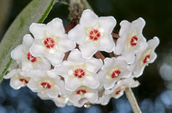 Hoya carnosa. Hoya is an Asclepiad genus of 200–300 species of tropical plants in the family Apocynaceae (Dogbane). Most are native to Asia including royalty free stock image
