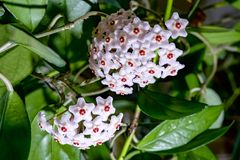 HOYA CARNOSA . Beautiful Home grown flower.Russia. royalty free stock photos