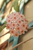 Hoya carnosa - Bloeiende takken - sluit omhoog - Italië royalty-vrije stock foto's