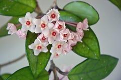 Hoya carnosa - blomma slår ut - nära övre - Italien Royaltyfria Foton
