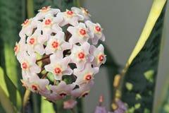 Hoya carnosa - blomning förgrena sig - nära övre - Italien Royaltyfria Foton