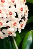 Hoya Carnosa cierre en conserva de la planta para arriba Foto de archivo libre de regalías