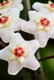 Hoya carnosa royalty free stock photo