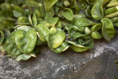 Hoya-carnosa compacta saftige Blätter lizenzfreies stockbild