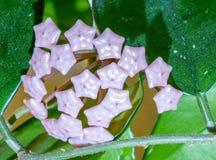 Hoya Carnosa Flor cultivado em casa bonita R?ssia imagem de stock