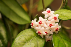 Hoya carnosa flower royalty free stock photography