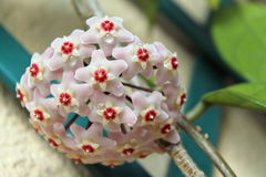 Hoya carnosa - Flowering branches - Close up - Italy. This pretty, strong succulent plant has found an ideal habitat in the South of Italy. So its blooming stock photos