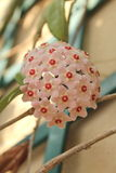City gardens - Hoya carnosa - Flowering branches. This pretty and strong succulent plant has found an ideal habitat in the South of Italy. So its blooming begins royalty free stock photos