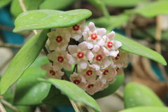 Hoya carnosa - Flowering branches - Close up - Italy. This pretty, strong succulent plant has found an ideal habitat in the South of Italy. So its blooming stock image