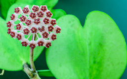 Hoya Carnosa flowers and heart shaped leaf. On green background Royalty Free Stock Image