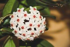 Hoya Carnosa - porcelainflower royalty free stock photography