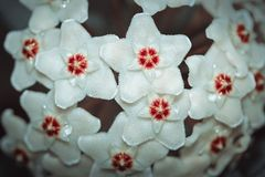 Hoya carnosa, Porcelainflower, waxplant closeup. White fluffy flower with a red center like a star.  royalty free stock photography