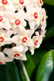 Hoya carnosa. potted plant close up royalty free stock photo