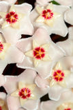 Hoya carnosa. potted plant close up. Beautiful blooming flowers of wax plant hoya carnosa. close up view royalty free stock images